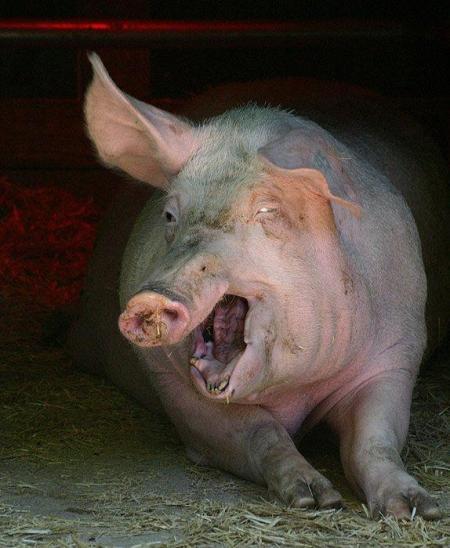 retarded-pig